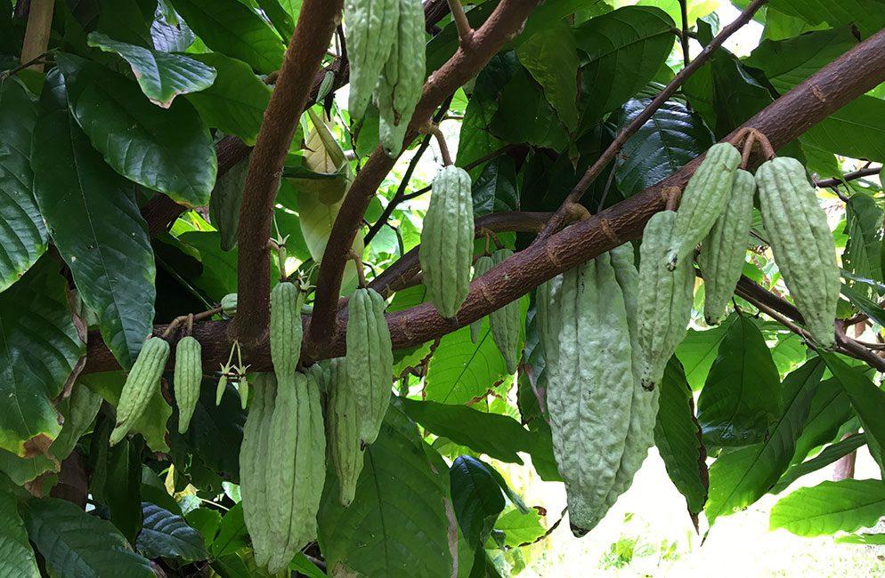 cacao-farm-blog